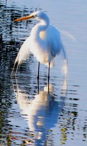 American Egret Standing in Water